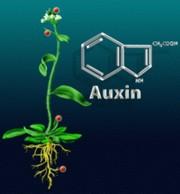 ауксины на винограде