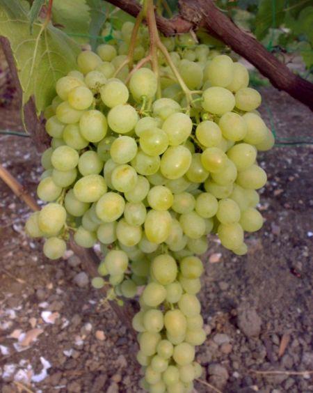 гроздь сорта винограда Алешенькин