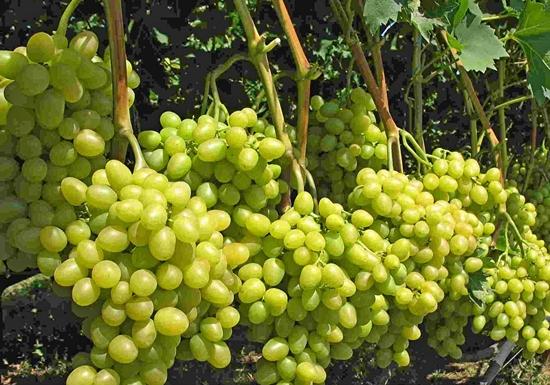 Виноград Аркадия (Настя) - фото, видео и описание сорта