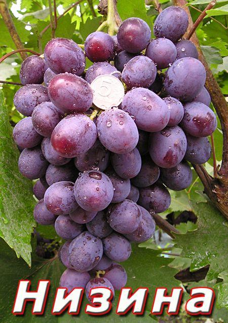 фото сорта винограда Низина