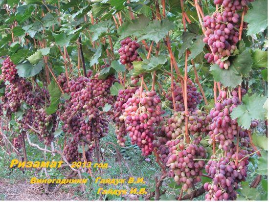 Плодоношение винограда Ризамат