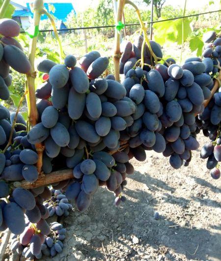 виноград Сияна