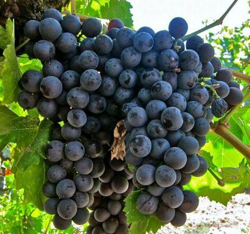 сорт винограда Страшенский