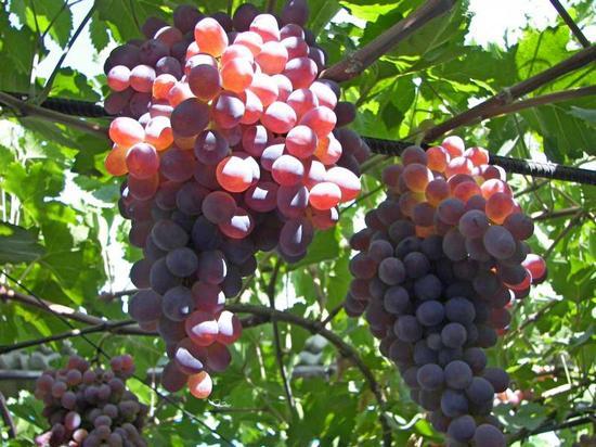 Виноград Тайфи розовый - описание и фото сорта