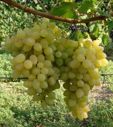виноград кишмиш Володар