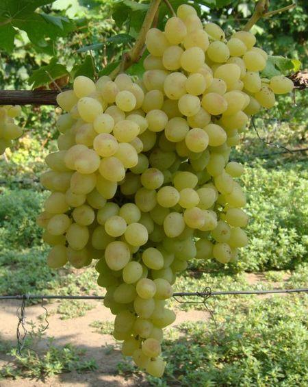 г.ф. винограда селекции Загорулько - Володар