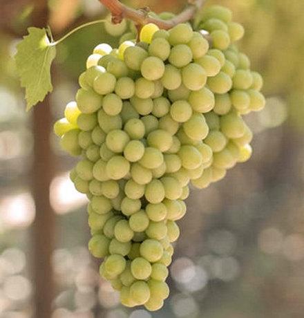 сорт винограда Рататуй