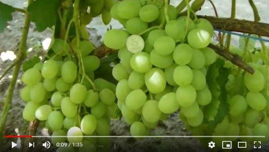 видео о сорте винограда Красавчик