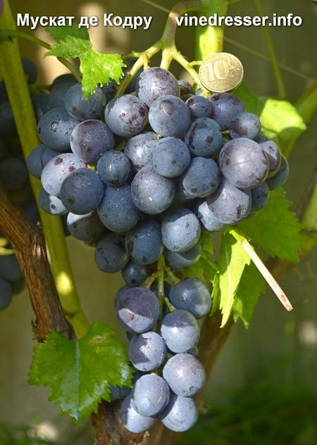 Виноград Мускат де Кодру