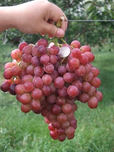 Супер Детка В Виноградной Роще