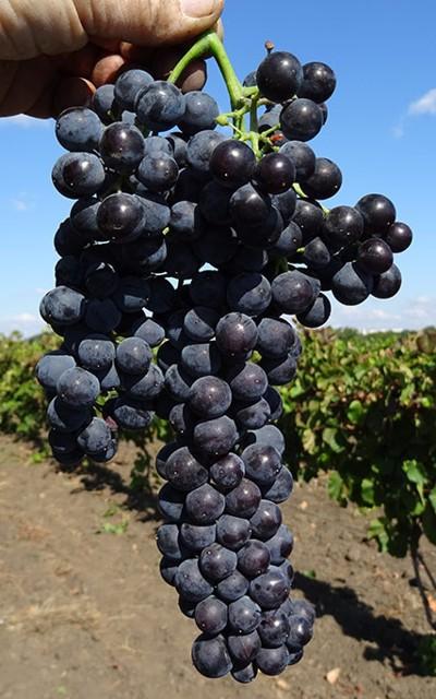 виноград Астория
