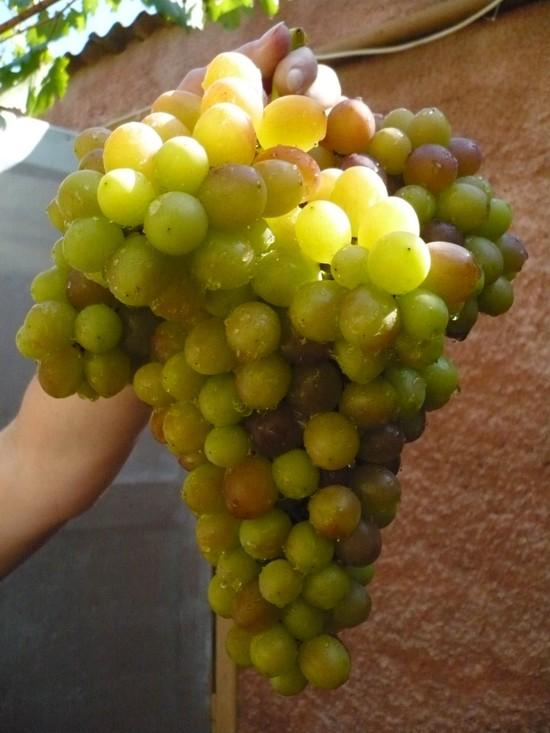 Гибридная форма винограда Блестящий