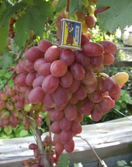 Виноград Анюта - описание и фото сорта