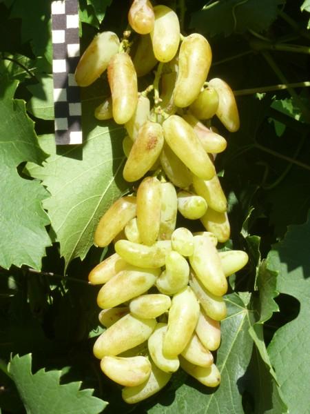 виноград Банановые ножки
