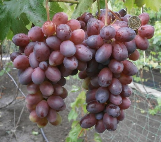 виноград Бешевский