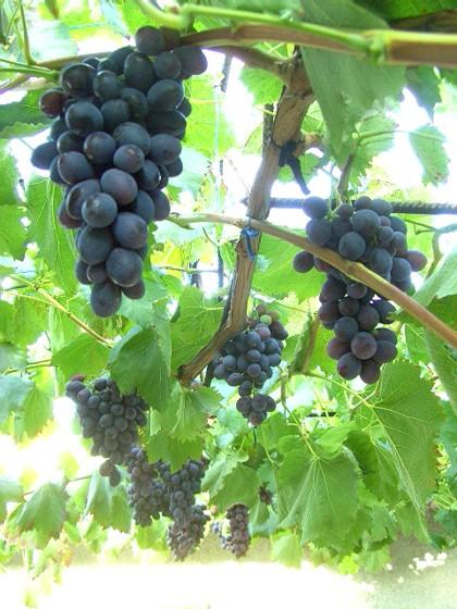 виноград Блэк Гранд