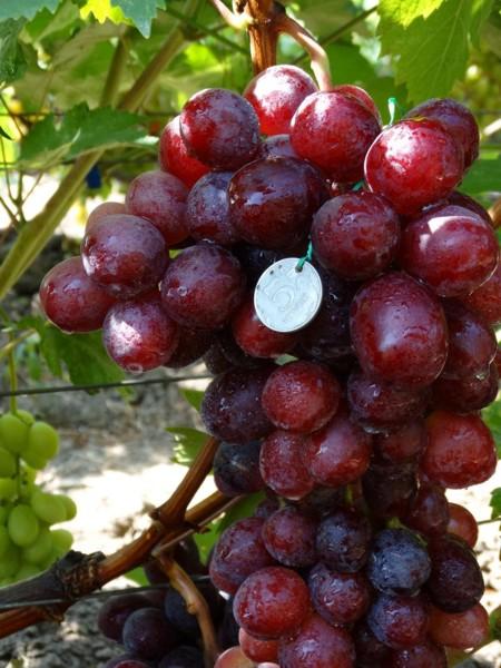 особенно актуально, виноград эверест фото пидр
