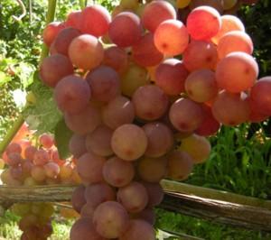 Виноград Розмус (Загорулько В.В.) - описание и фото сорта