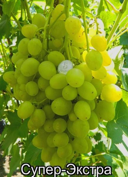 виноград Супер Эстра (Цитрин)