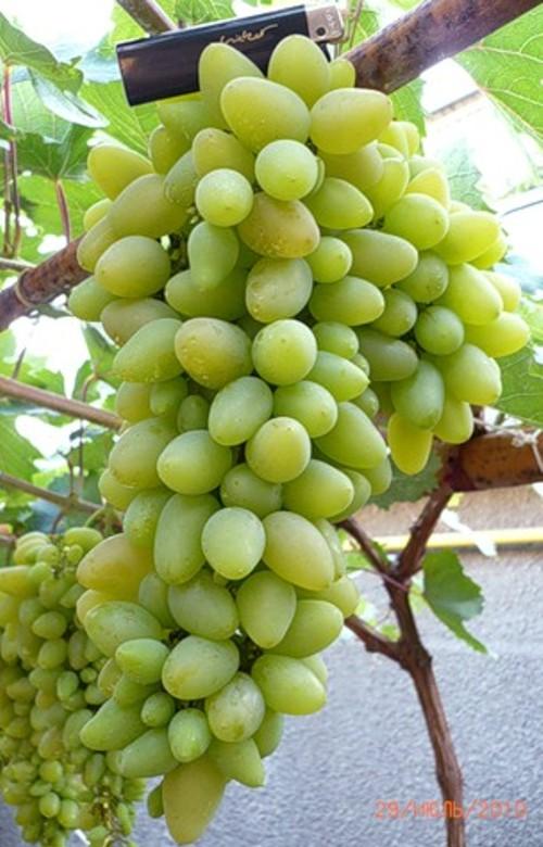 виноград Темерник