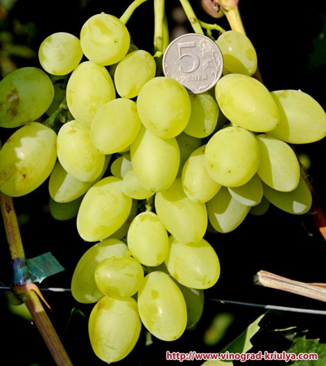 виноград Вернисаж