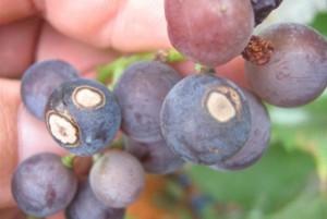 антракноз винограда