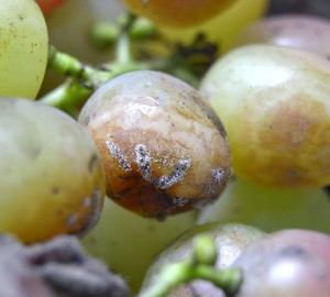 Аспергиллёз винограда