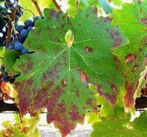 дефицит фосфора на винограде