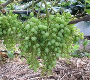 какой виноград посадить