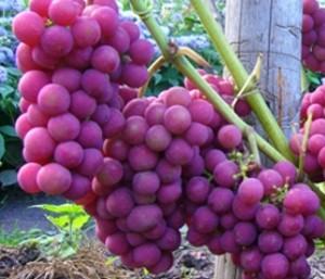 неприхотливые сорта винограда