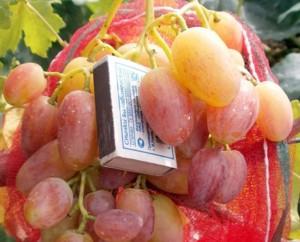народная селекция винограда