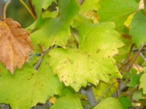 азотное голодание на винограде