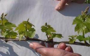 нормирование побегов винограда