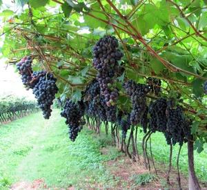 питание винограда