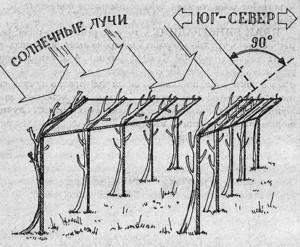 планировка виноградника