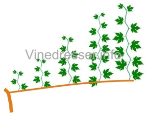 полярность винограда