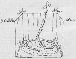 посадка винограда лозой