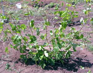 рост винограда