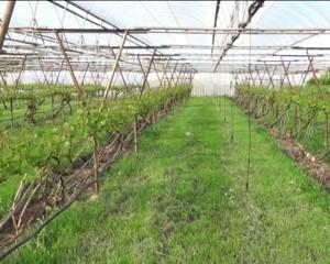 почва виноградника
