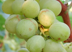 виноградный трипс