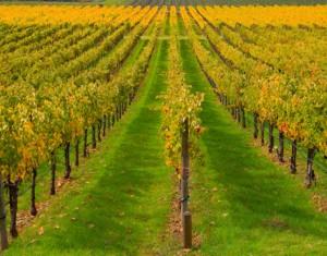 устойчивость винограда