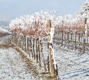 виноград зимой