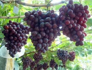 зарубежные сорта винограда